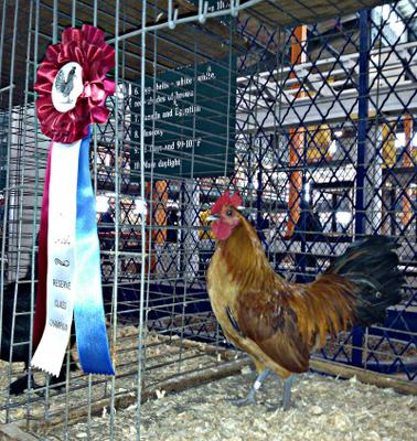 meet nankin singles Looking to share our good show-quality rose comb and single comb nankins  time and place to meet for  nankin single comb & rose comb hatching eggs.