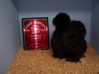 Black Silkie Hen Bantam Champion