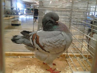 One of the champion pigeons