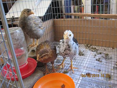 Three new chicks I brought home from the show: Blue Laced Red Wyandotte, Welsummer and Ancona.
