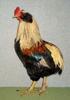 Golden Duckwing Araucana Cockerel, numerous Best of Variety and Reserve of Breed wins in 2013.