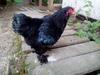 Black Brahma bantam Cockerel