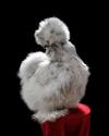 Champion Silkie from Godlen Egg Farm