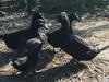 Cayuga Ducks
