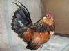 Cock Bird