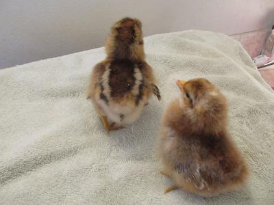 Bielefelder chicks - autosexing