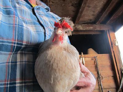 Icelandic hen